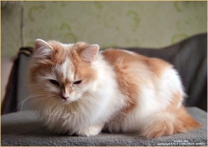 Фотомодель кошка Айа. Фотограф Илья LukBigBox Химич
