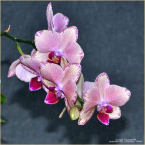 Орхидея Phalaenopsis. Фотосессия с цветами.
