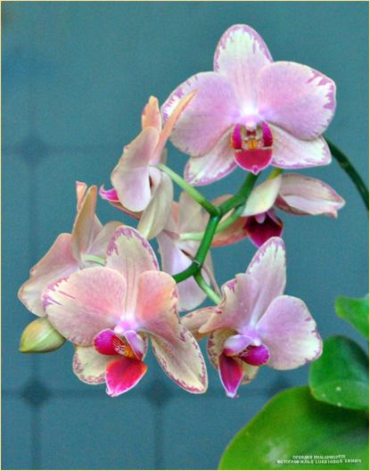 Орхидея Phalaenopsis. Фотограф Илья LukBigBox Химич