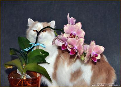 Орхидея Phalaenopsis и кошка Айа. Фотограф Илья LukBigBox Химич